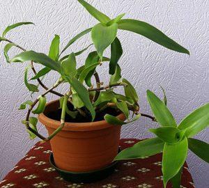Растение, наполненное целебными свойствами